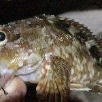 カサゴにオススメのワームは餌より釣れ続けるエコギア熟成アクア